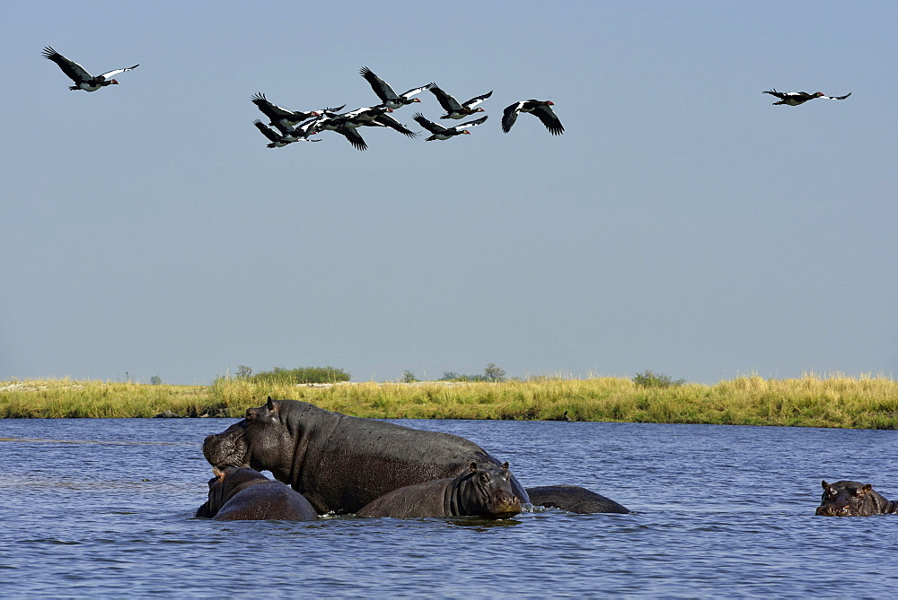 Hippos and Spur-winged geese in flight, Chobe Botswana