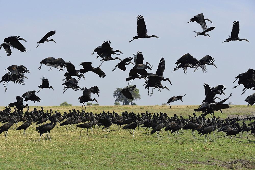 Open-billed storks in flight, Chobe Botswana