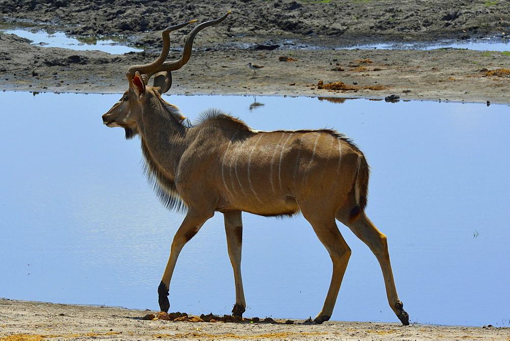 Great Kudu walking on the bank, Chobe Botswana