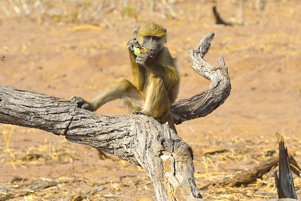 Chacma baboon eating a fruit, Chobe Botswana