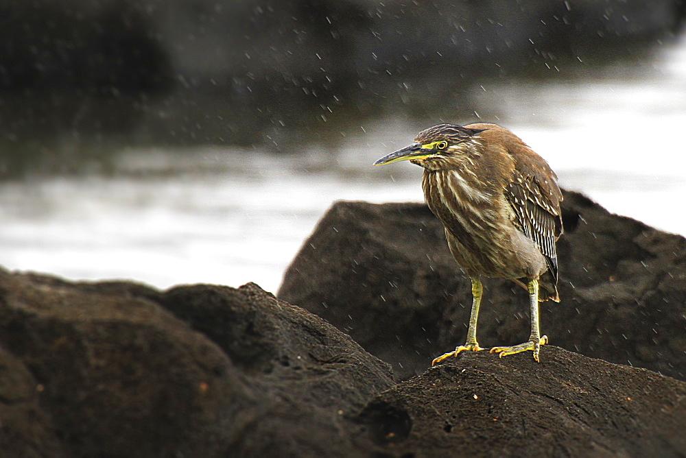 Striated heron on rocks, Mauritius