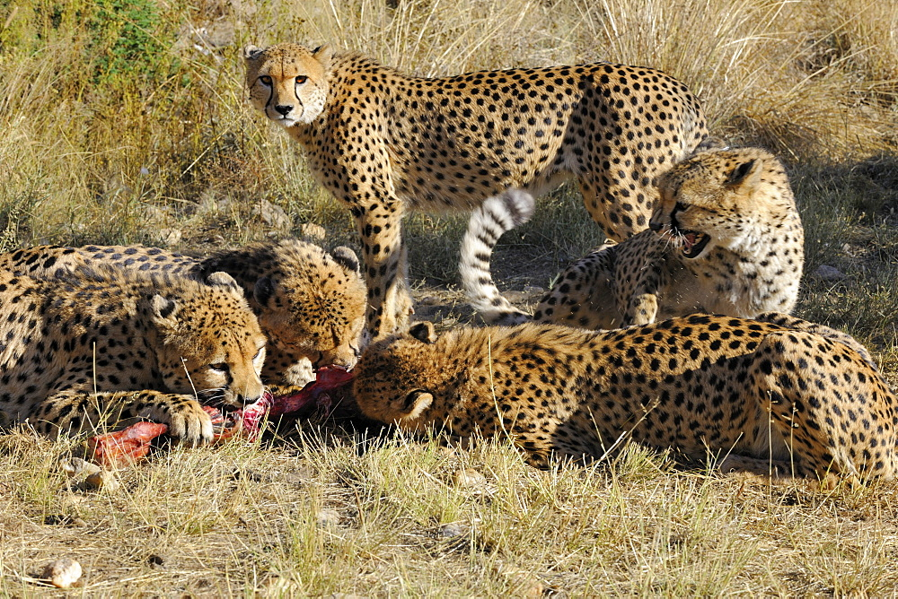 Cheetah eating prey, Chobe Botswana