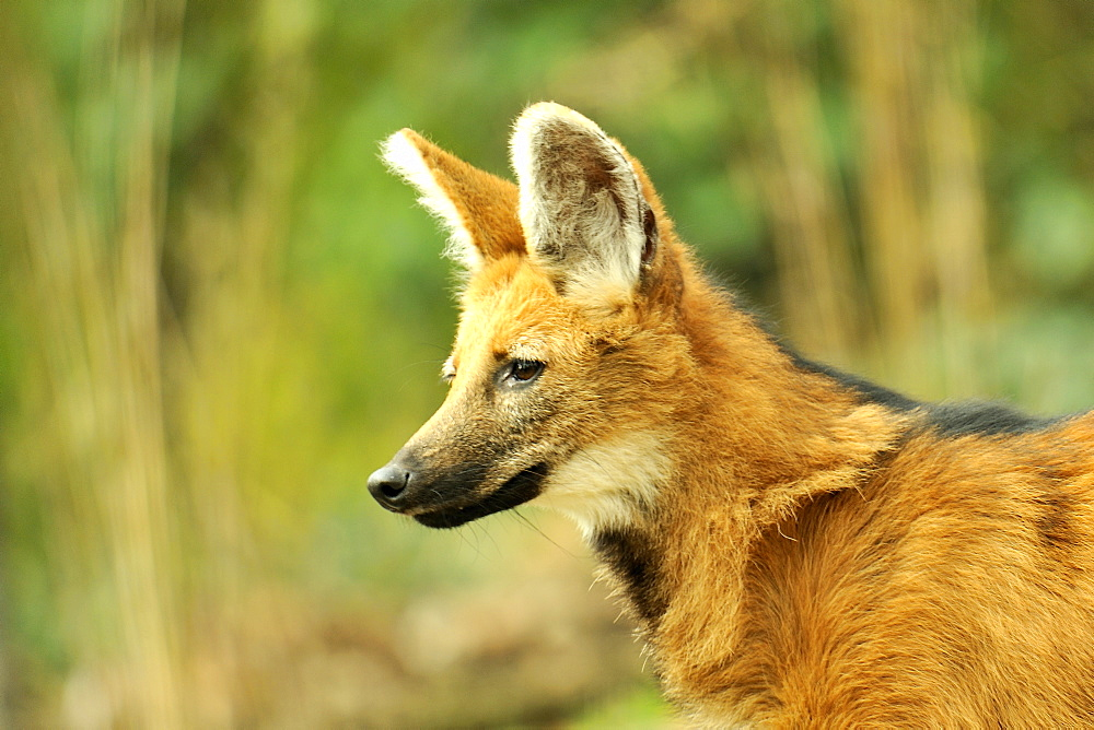 Portrait of  maned Wolf Female