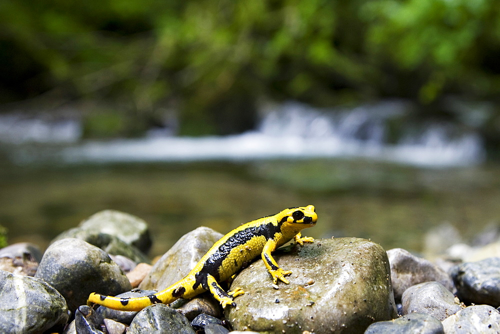 Speckled Salamander on rocky bank, Pyrenees France