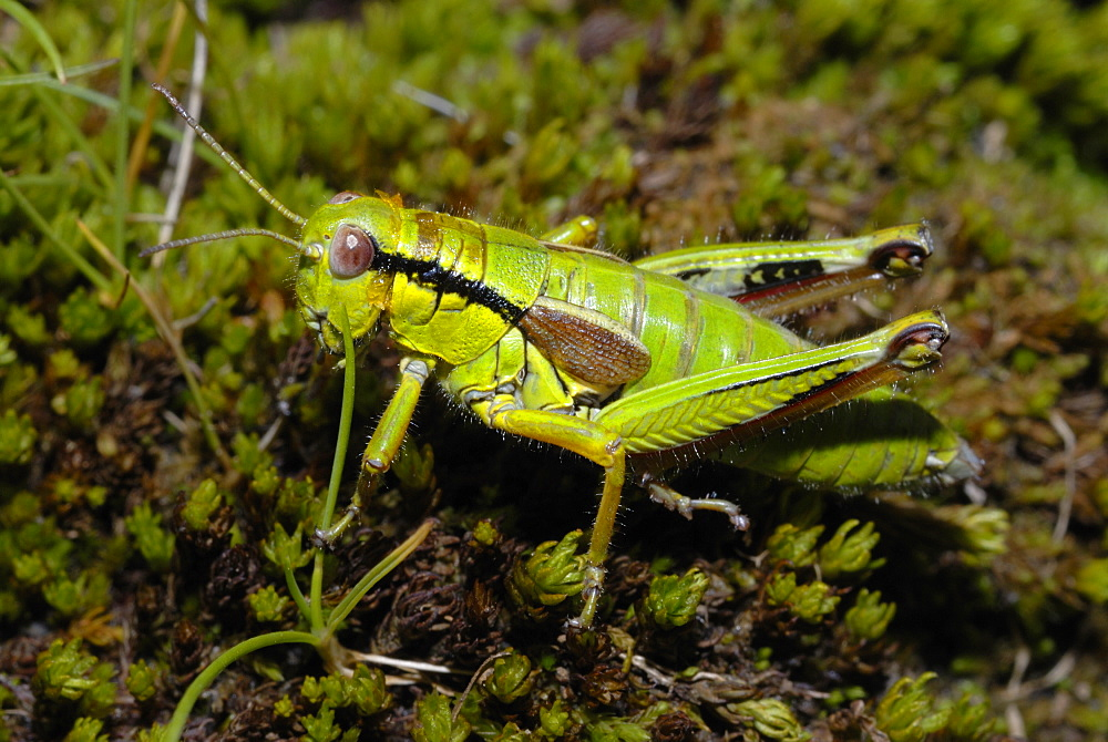 Green Mountain Grasshopper on moss, Alpes France