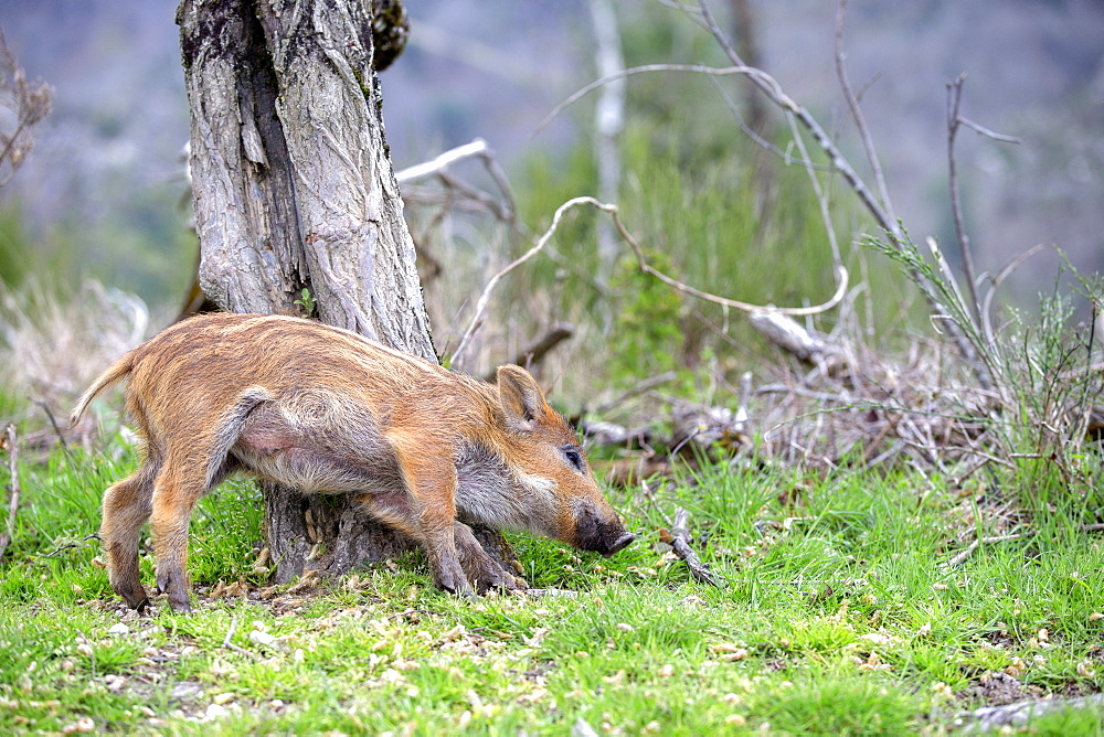 Young Wild Boar scratching on a tree trunk, France