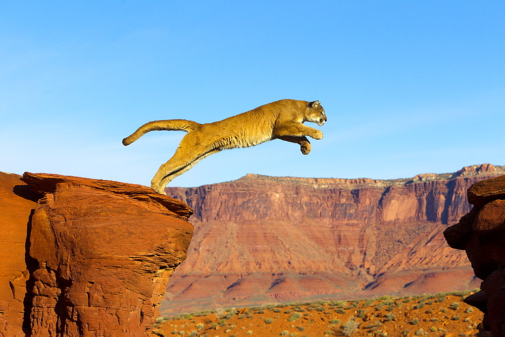 Puma jumping from a rock, Utah USA