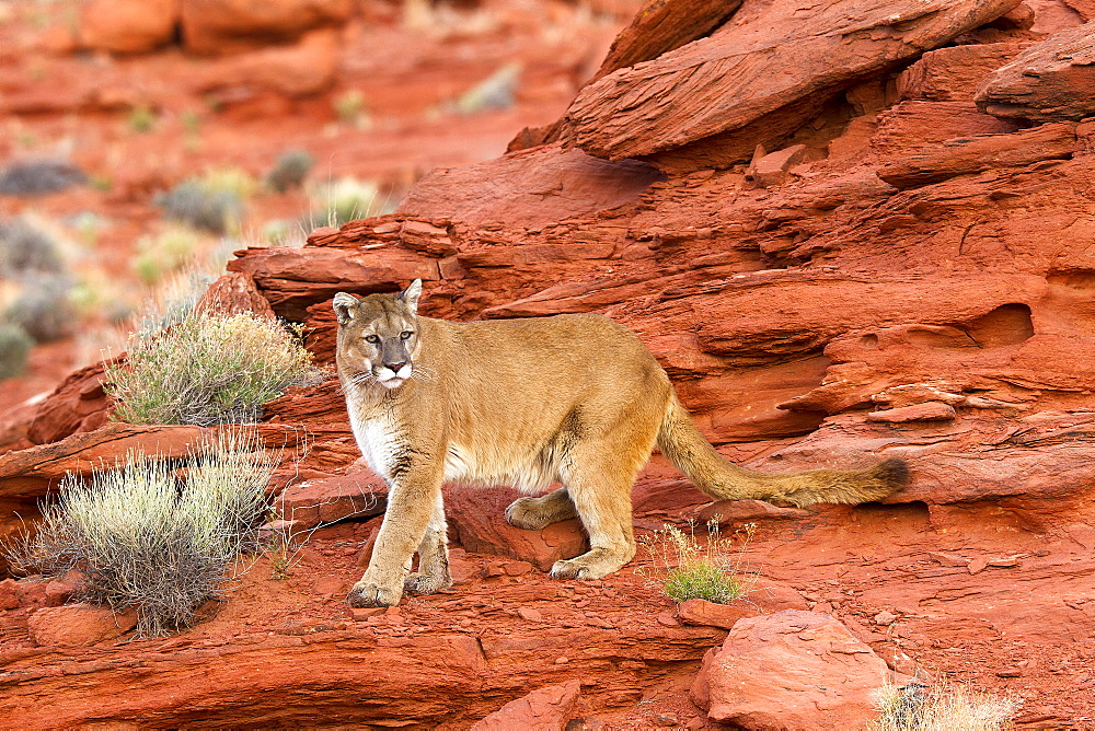 Puma on a cliff, Utah USA