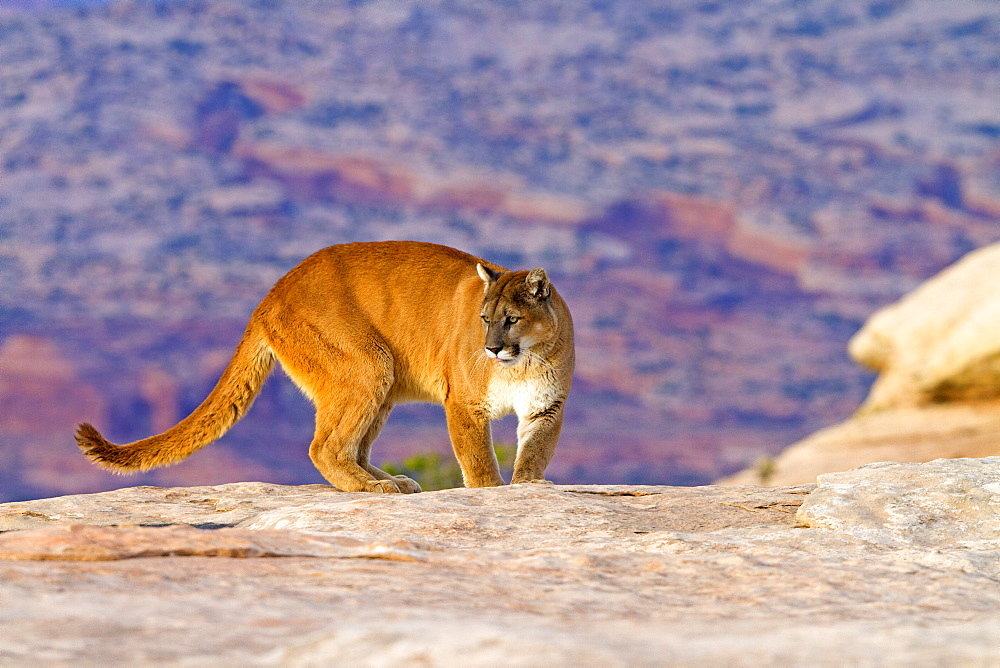 Puma on rock, Utah USA
