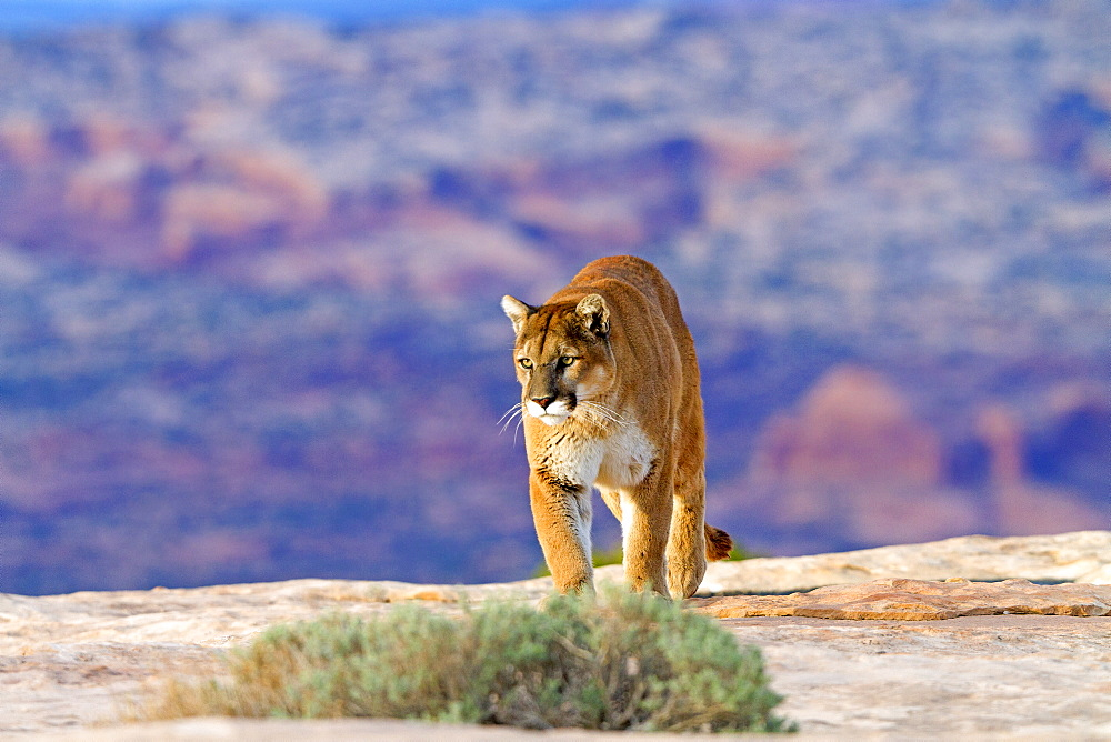 Puma walking on rock, Utah USA