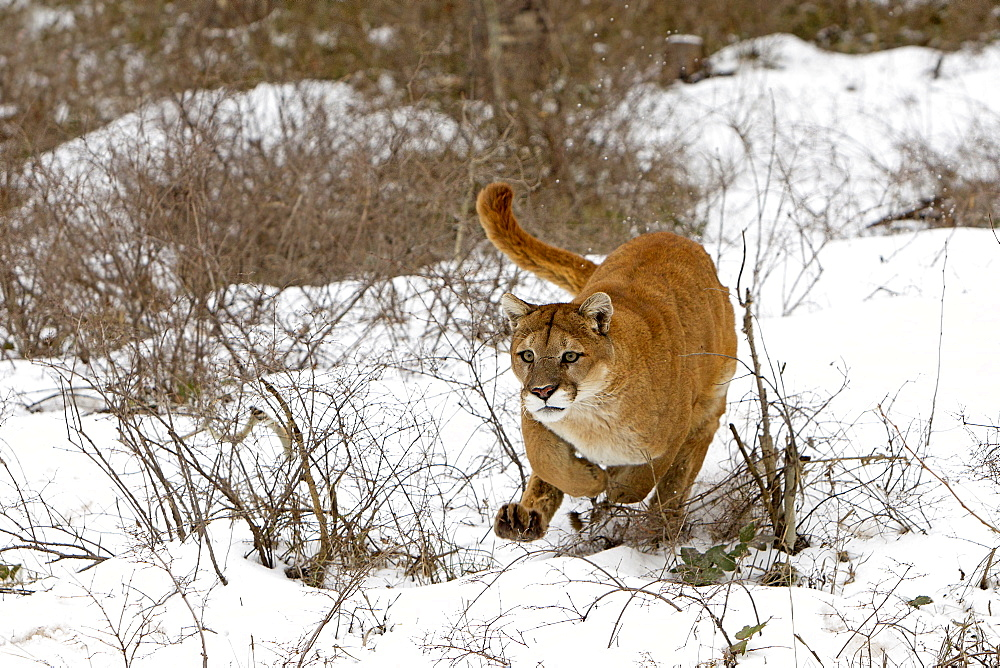 Puma in the snow, Utah USA