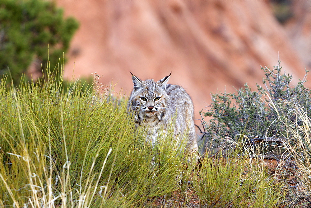 Bobcat in the bushes, Utah USA