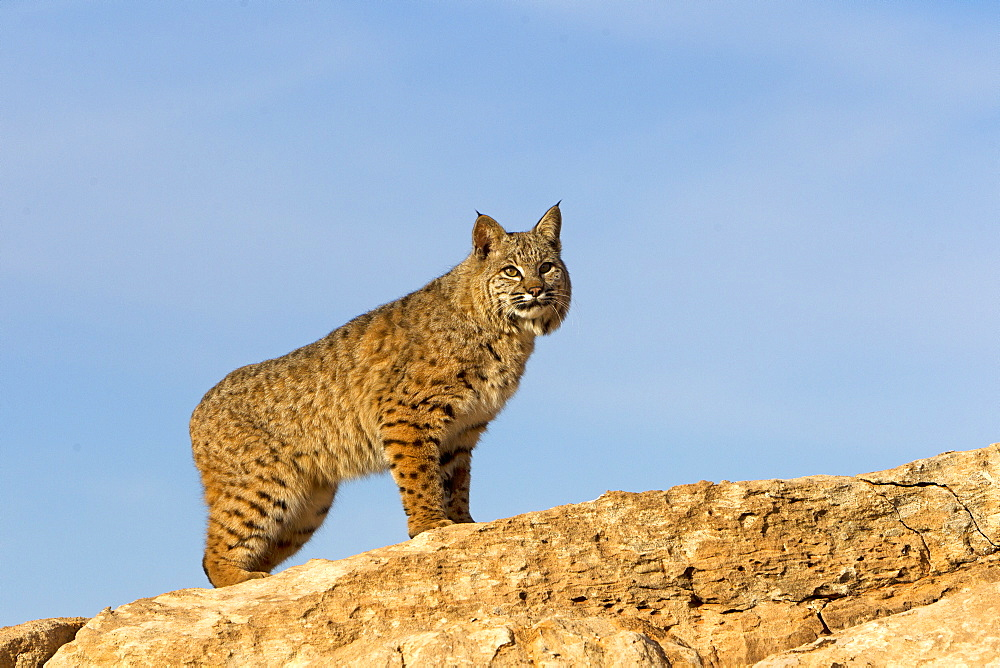 Bobcat on cliff, Utah USA