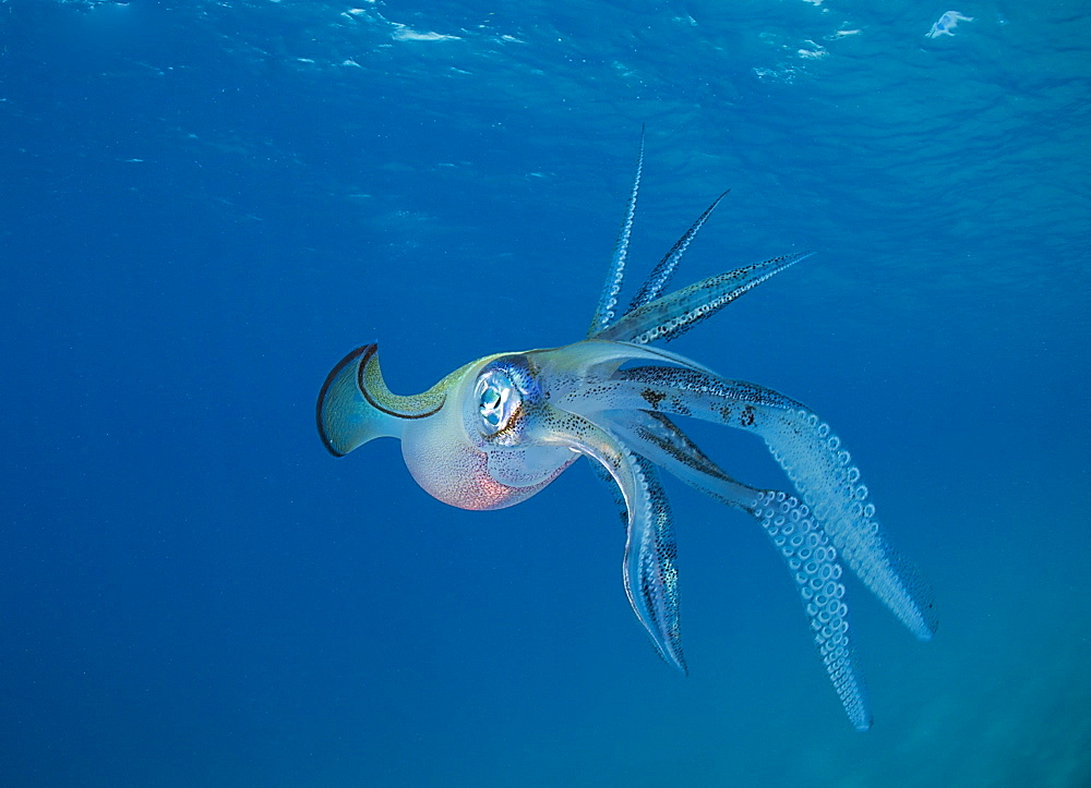 Bigfin reef Squid swimming under surface, Fiji