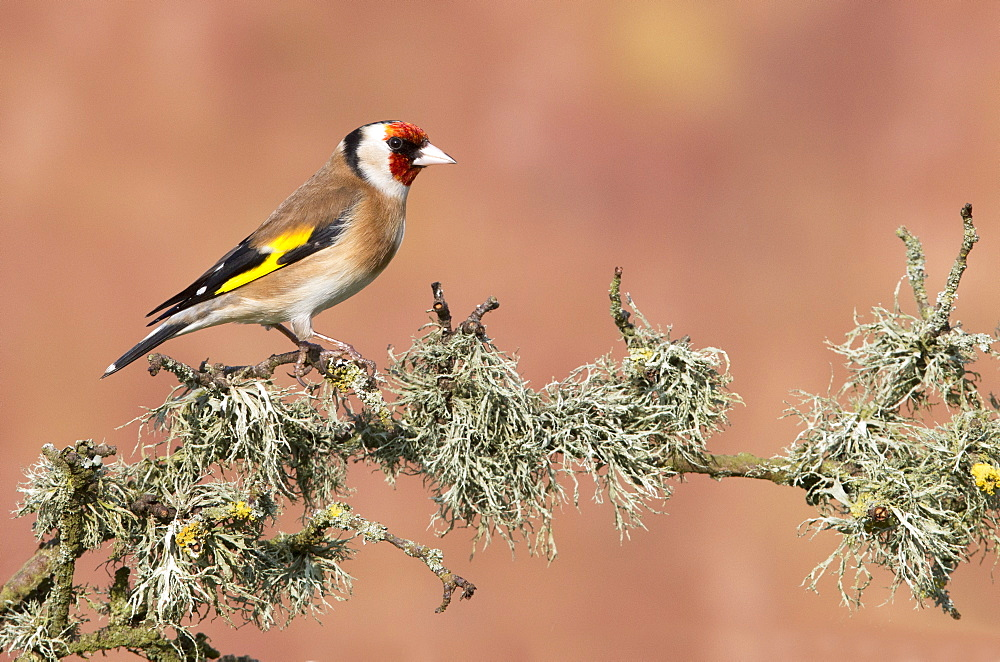 Goldfinch perched on a mossy branch at spring, GB
