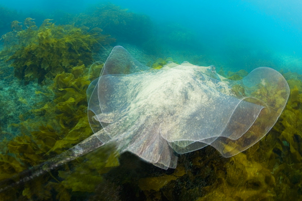 Longtailed stingray, Poor knights Island New Zealand