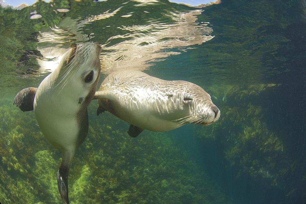 Australian Sea Lions under water, Kangaroo Island Australia