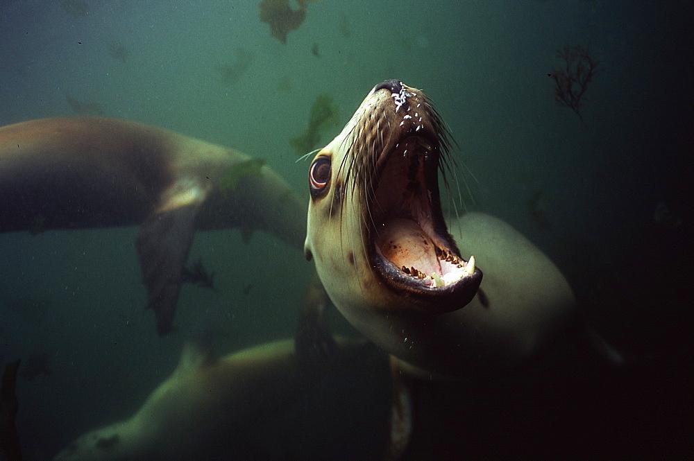 Hooker sealion under water -Campbell Island New Zealand