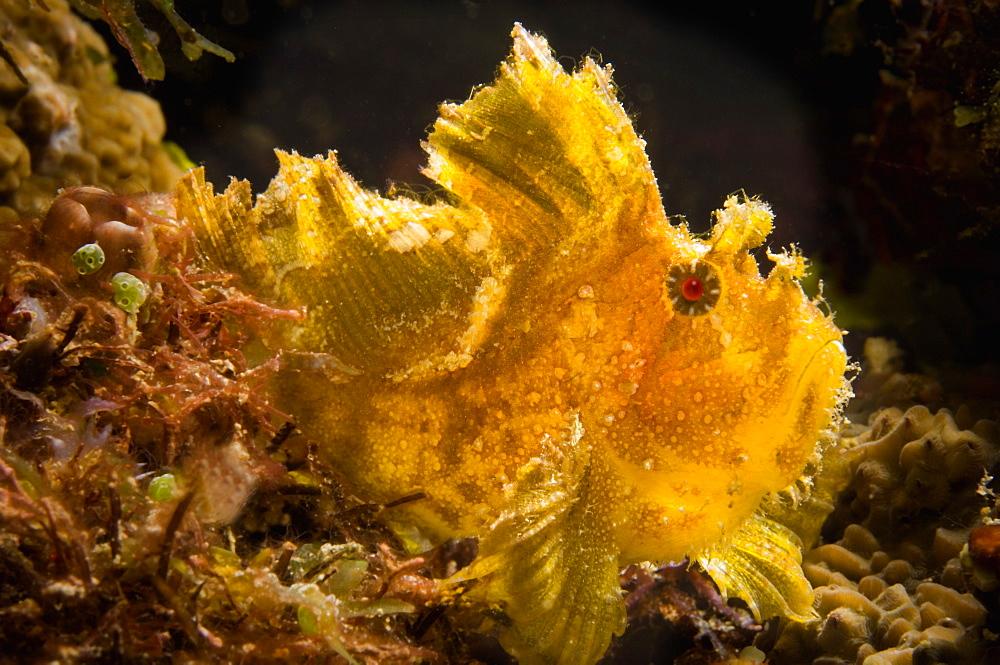Leafy Scorpionfish, Papua New Guinea