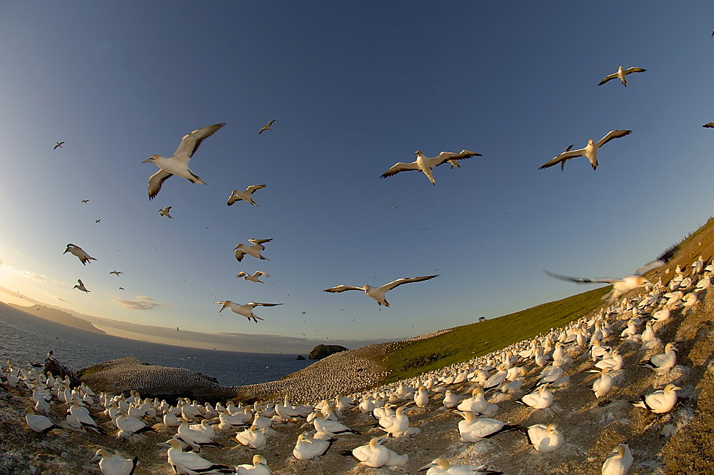 Australian Gannet colony,  New Zealand