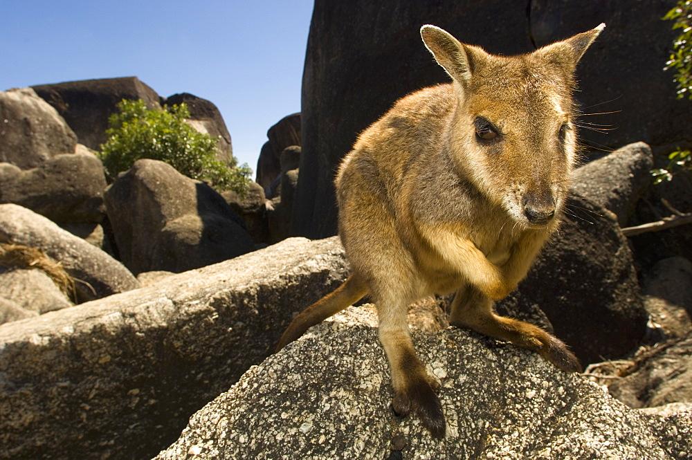 Rock Wallaby on rock, Australia