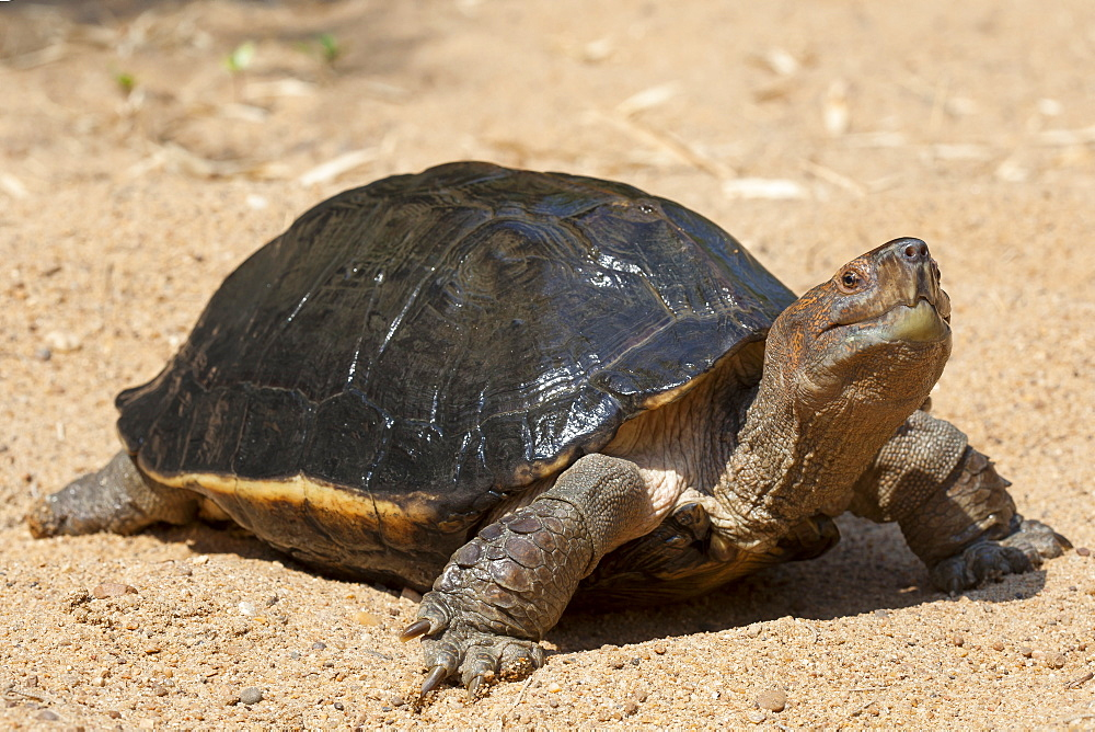 Giant Asian Pond Turtle on sand, Cambodia