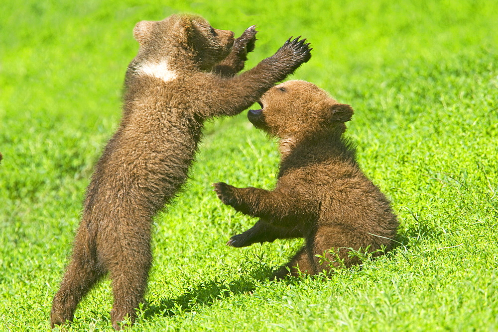 Young Grizzlies playing in the grass, Thuringian Germany - 860-283870