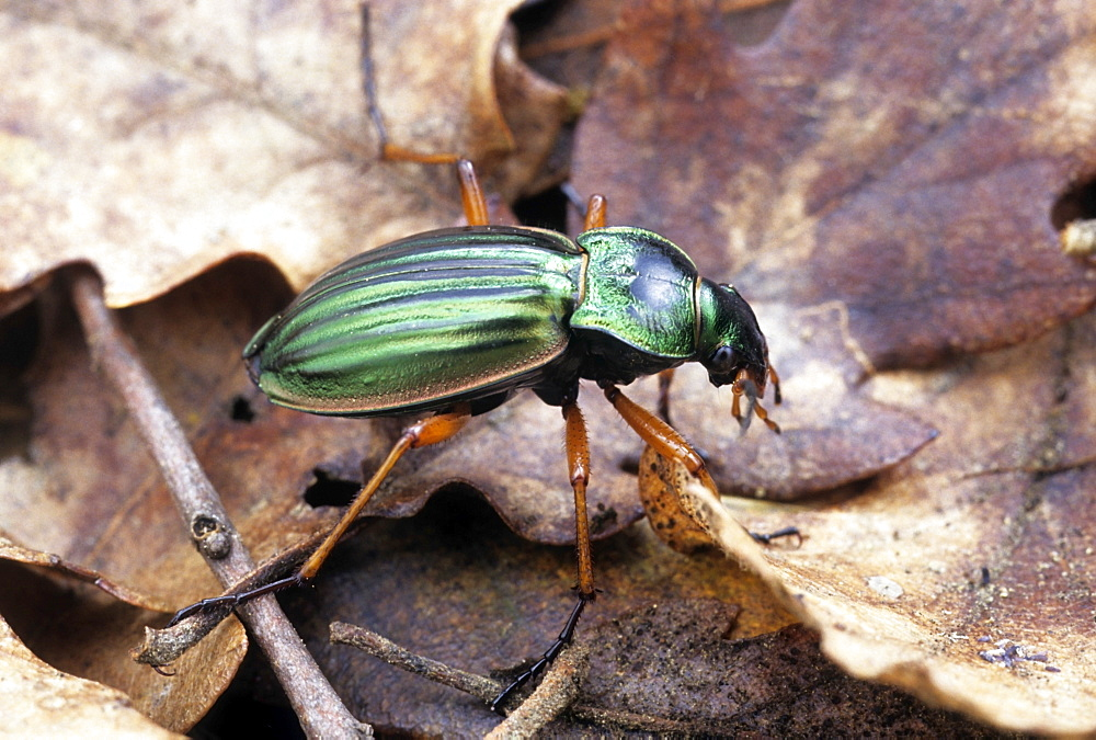 Golden ground beetle in the forest of Montargis, France