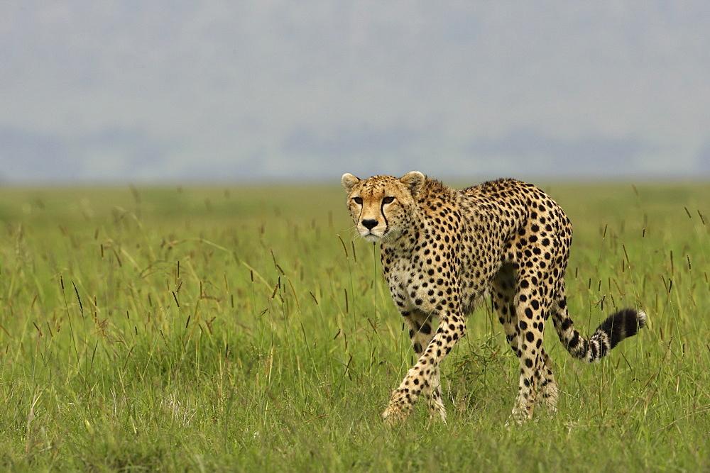 Cheetah walking in savanna, East Africa