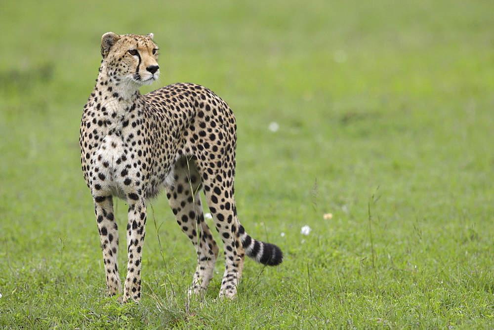 Cheetah in savanna, East Africa