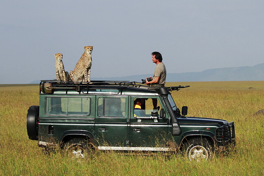 Cheetahs on car and photographer, East Africa