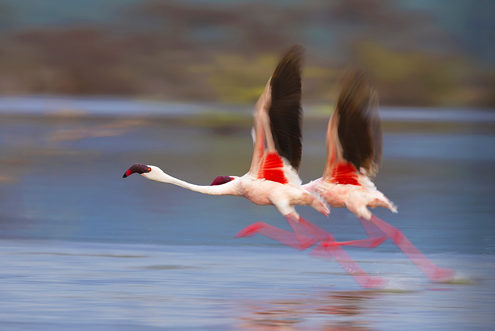 Lesser Flamingos flying away, East Africa