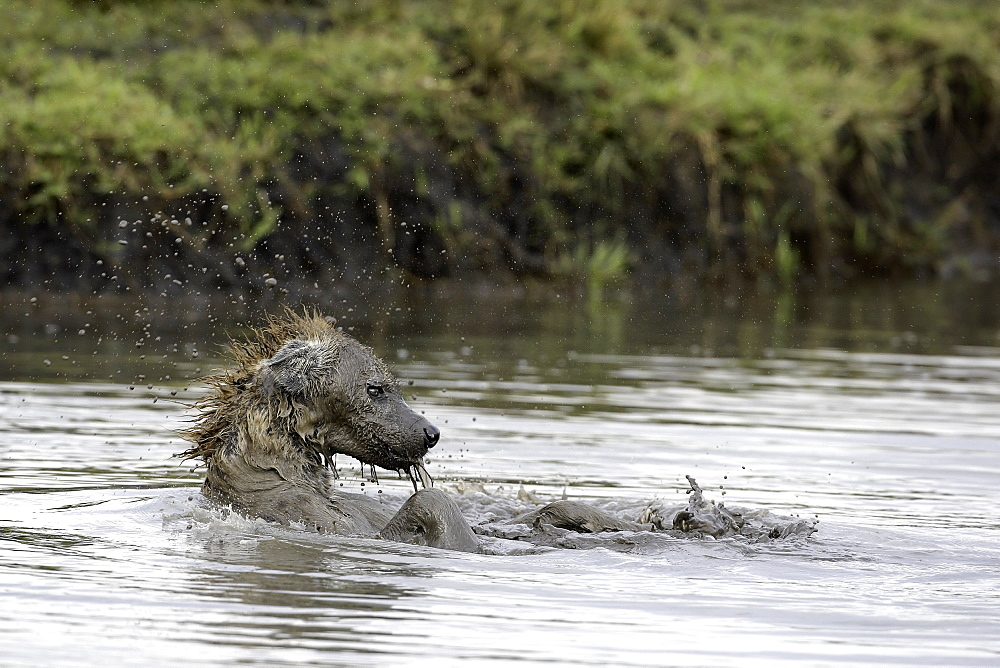 Spotted hyena bathing, East Africa