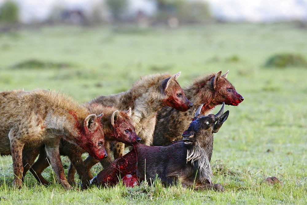 Spotted hyenas eating a wildebeest young, East Africa