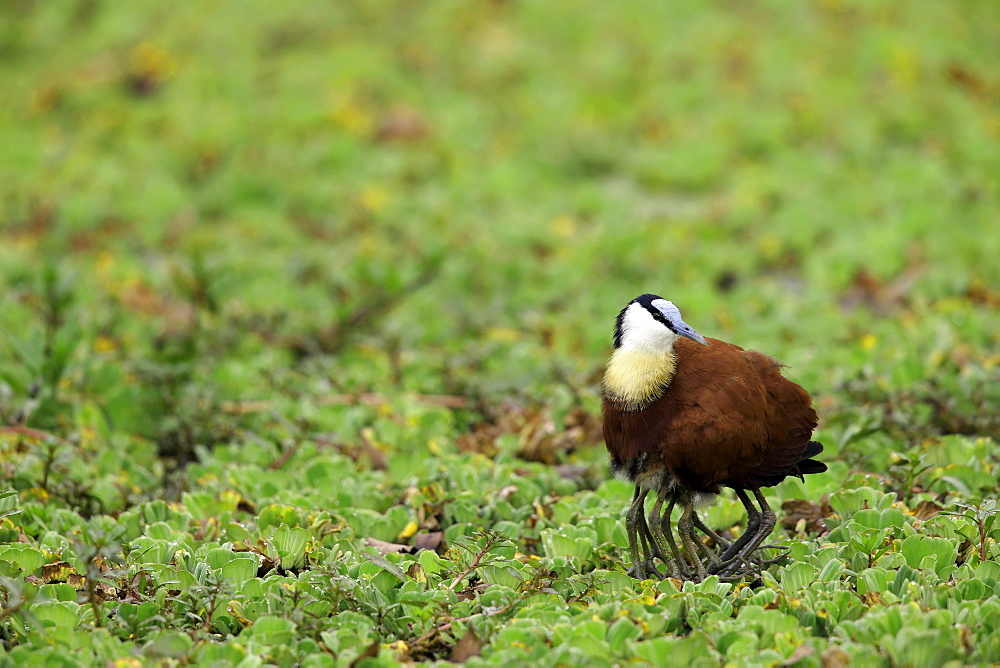 African Jacana warming his chicks, East Africa