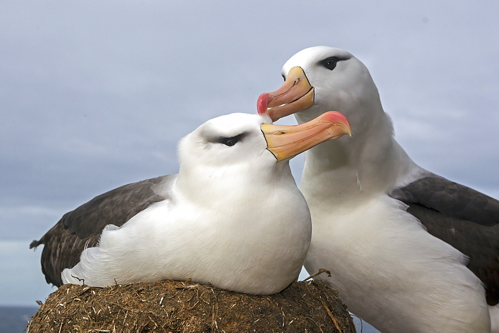 Black-browed Albatross at nest, Falkland Islands