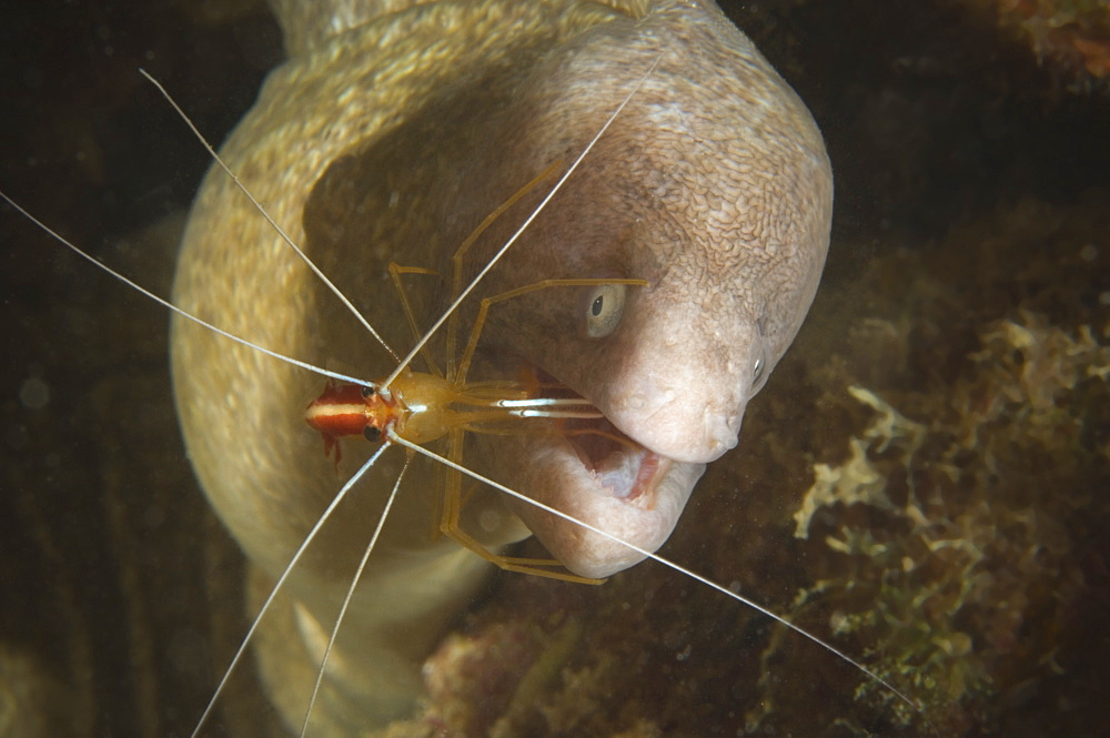 White-banded Cleaner Shrimp on Moray eel, New Caledonia