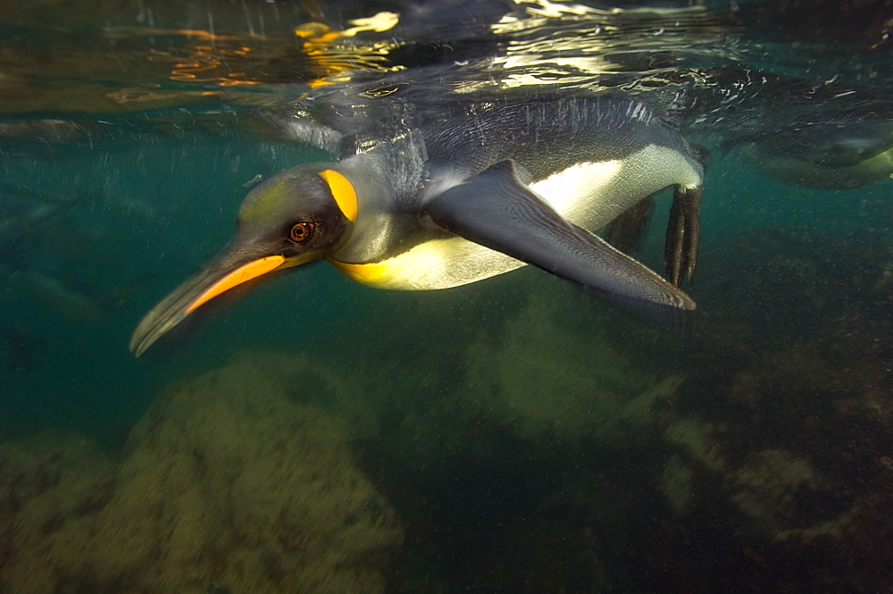 King penguin under surface, Maquarie Island  Australia