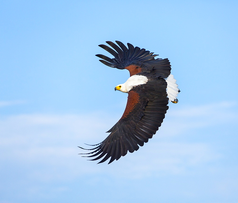 African Fish Eagle fishing in flight, Kenya