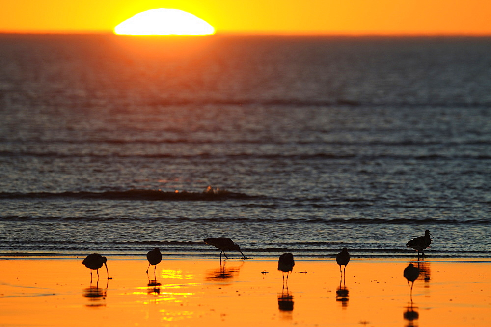 Eurasian Curlews seaside at sunset, France