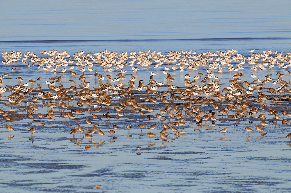 Black-tailed Godwits and Pied Avocets, France