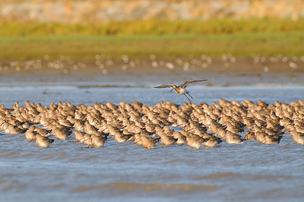 Black-tailed Godwits at high tide, France