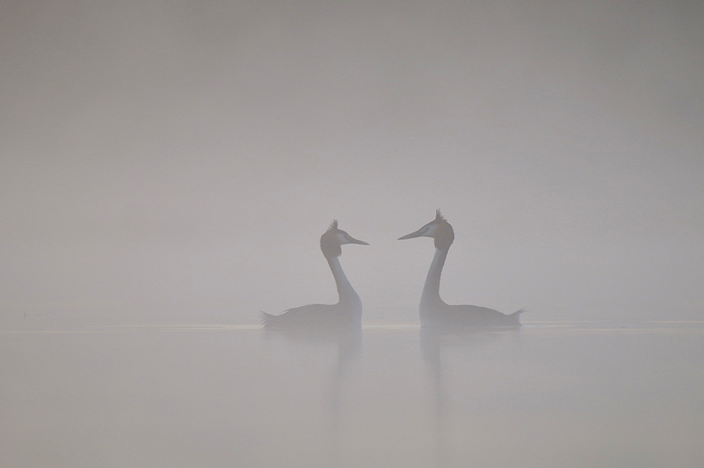 Parade of Great Crested Grebes in the mist, Grandlieu France