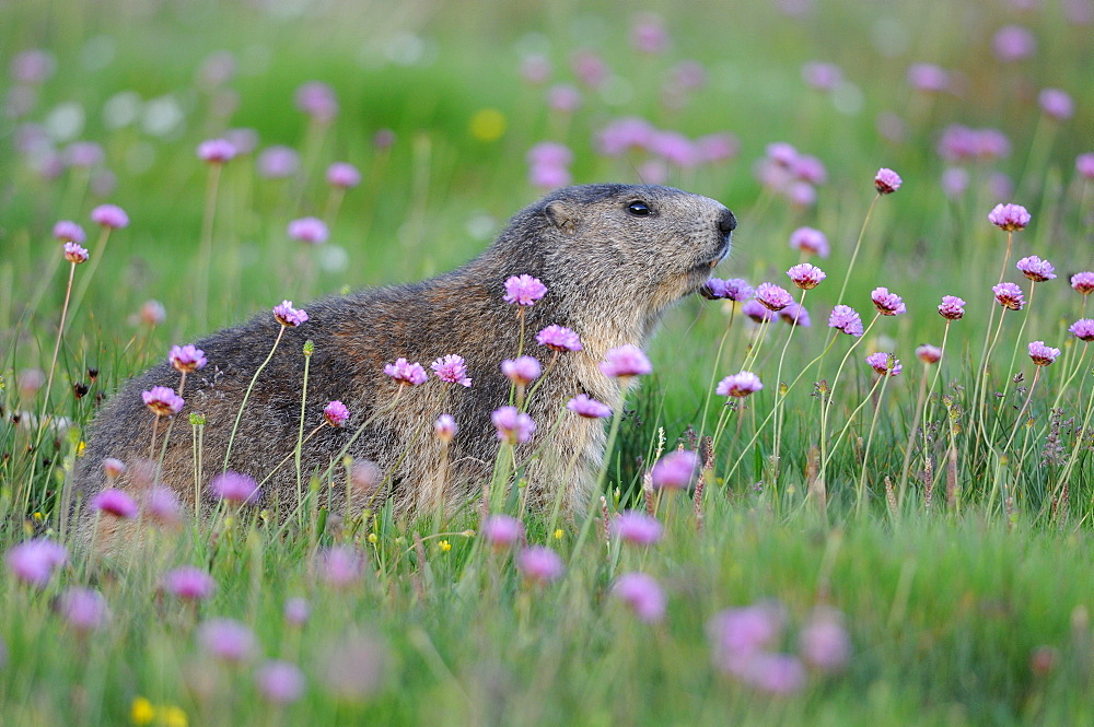 Alpine Marmot and Thrift flowers, Queyras Alps France