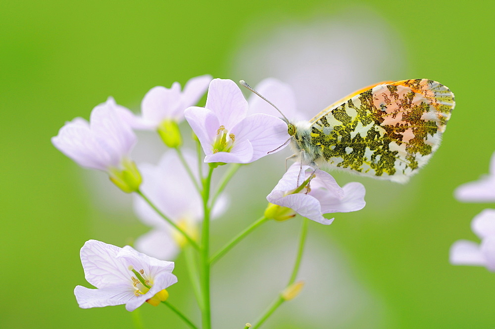 Orange Tip on Cuckoo Flower, France