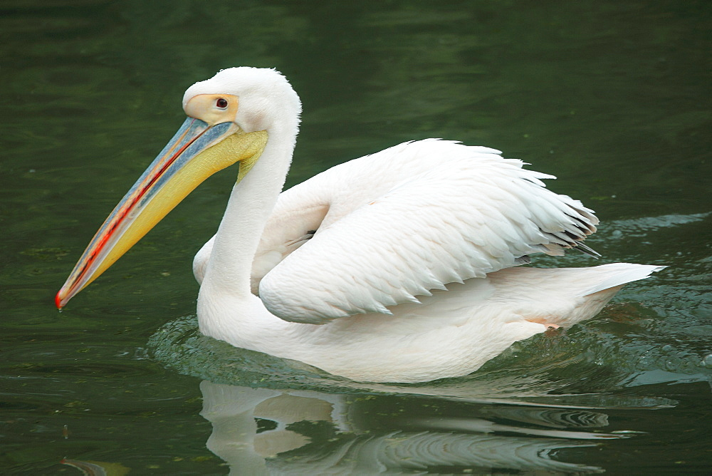 White pelican on water, Parc de la tête d'or  Lyon France