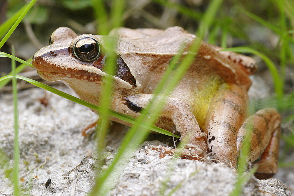 Grass frog roadside, France