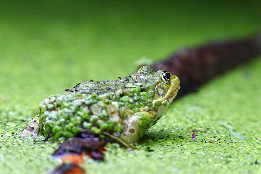 Green frog and duckweed in a pond, France