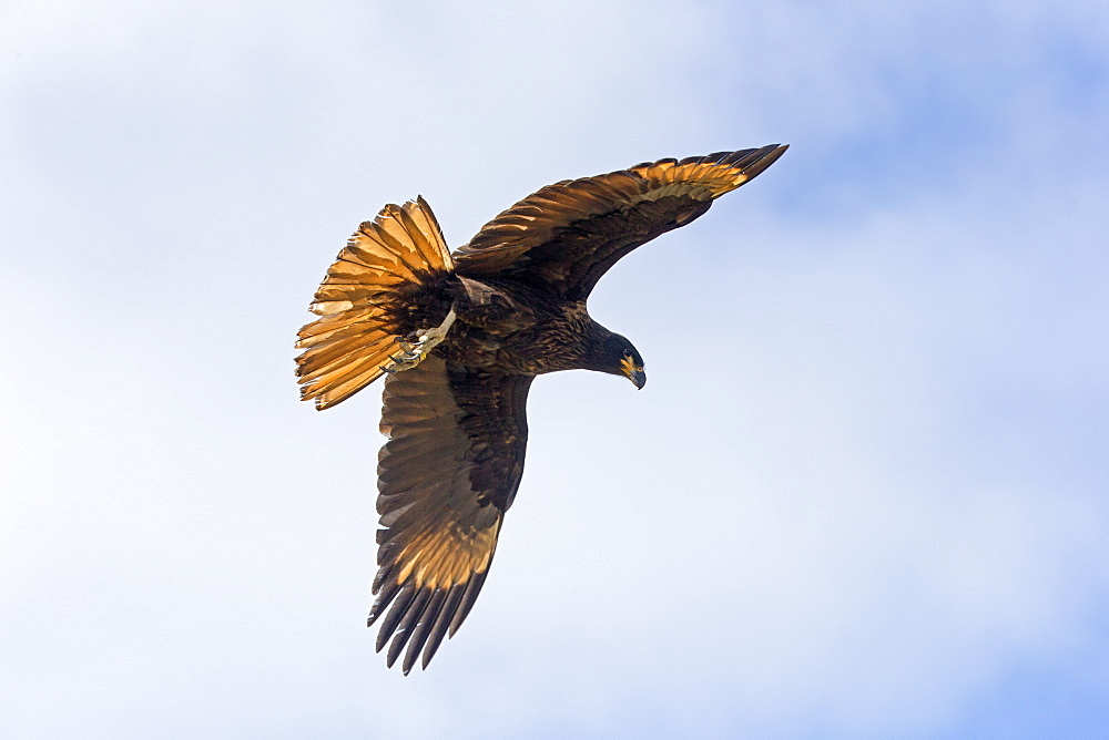 Striated Caracara in flight, Falklands Saunders Island