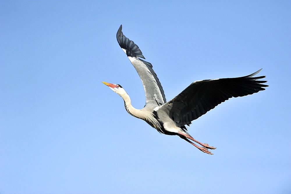 Grey Heron in flight, PNR Camargue France